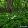 ニリンソウの森Ⅰ