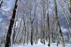 初冬のブナ林