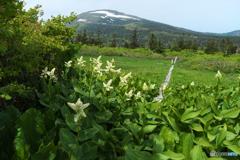 コバイケイソウとお山。