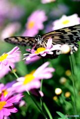 花と蝶(オオゴマダラ)