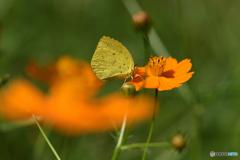 キバナコスモスに黄蝶