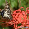 曼珠沙華に蝶を添えて