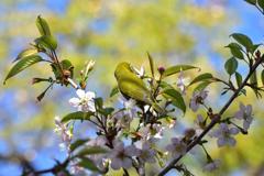 メジロとヒマラヤ桜11