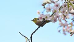 メジロとヒマラヤ桜10