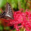 曼珠沙華にアゲハ蝶