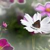 コスモスに蝶