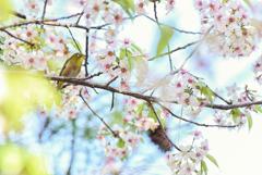 気分は春(ヒマラヤ桜とメジロ)2