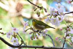 メジロとヒマラヤ桜12