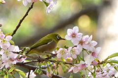 メジロとヒマラヤ桜7