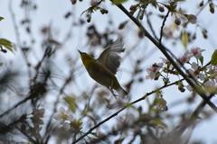 メジロとヒマラヤ桜8