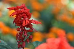 サルビアの花
