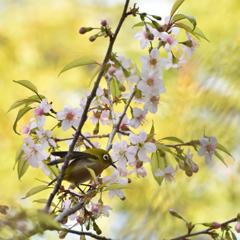 メジロとヒマラヤ桜9
