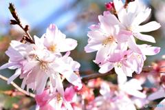 まだ咲く十月桜