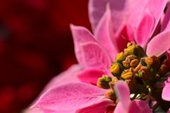 クリスマスに似合う花 Poinsettia