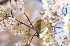 メジロとヒマラヤ桜 冬なのに気分は春