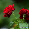 六月の薔薇