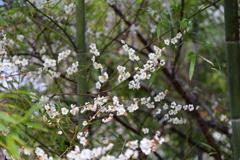 春待ち 長谷寺の花