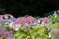 弥勒寺の紫陽花