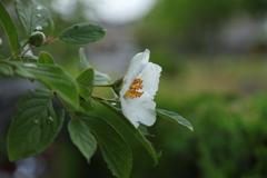夏椿も咲いた
