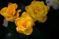 スプレー薔薇