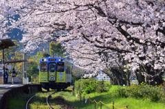 午後の桜紀行