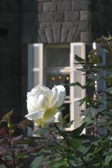 古舘と白いバラ