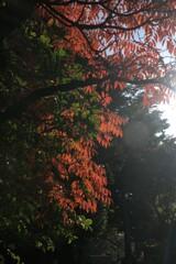 ハゼの紅葉が最盛期です