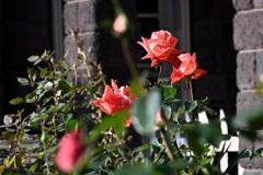 名園のバラ