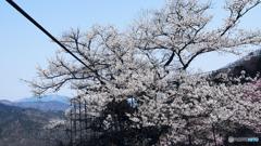 天空の大桜に人々の献身を見る