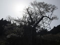 樽見の大桜2