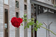 ユニオン教会のバラ