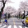 至る所に桜あり