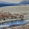 多摩川の鷺