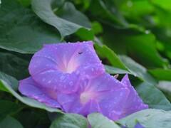 雨上がりの朝顔