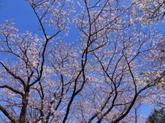 稲田公園の桜