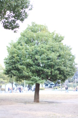 山下公園の木