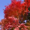 紅葉。まっかっか。