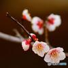 春来-梅ほころぶ