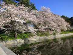 『城山公園×桜・桜』