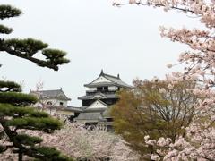 『松山城×さくら』