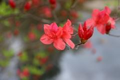 『赤×咲!』