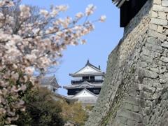 『松山城×桜×石垣』