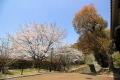 『松山城×桜×二の丸前』
