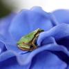 『紫陽花×蛙×休憩。』