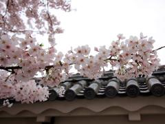 『桜×瓦』