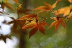 『葉×紅×緑』