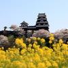 『大洲城×桜×菜の花』