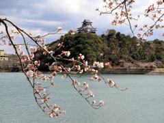 『犬山城×桜・桜』