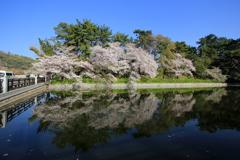 『城山公園×桜』