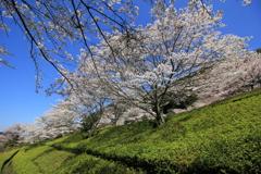 『青空×桜×緑』